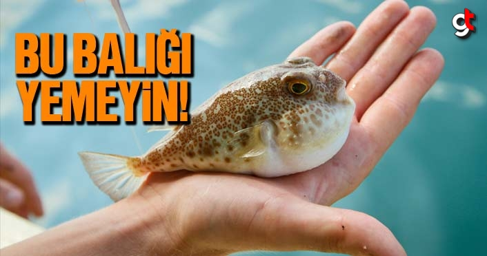 Balon balığı yenir mi? Balon balığı zehirli mi?