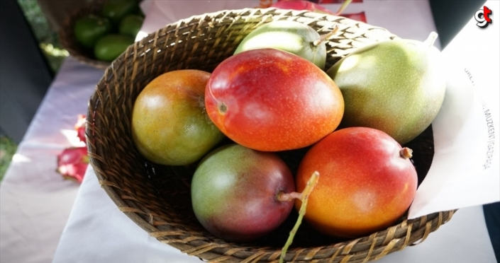 Tanesi 50 liraya satılan mango üreticinin yeni gözdesi