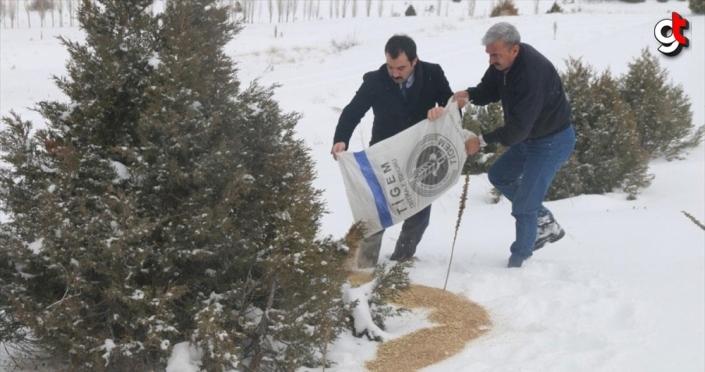Sivas'ta keklik ve bıldırcınlar için doğaya yem bırakıldı