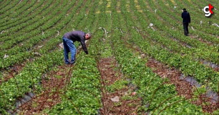 Ekim alanı artan Yayladağı çileğinin yüzde 70'i ihraç edilecek
