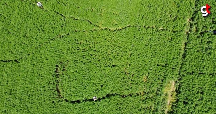 Amasya'daki Gökhöyük Tarım İşletmesinden tohumluk kenevir atağı