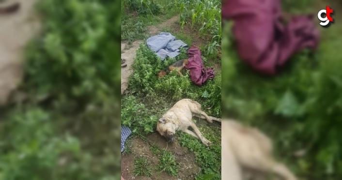 Kastamonu'da köpeklerin zehirlenip arı kovanının çalındığı iddiası