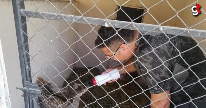 Köpeklerin kovaladığı yavru geyik Düzce'de korumaya alındı