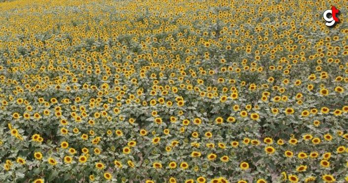 Samsun'da açan ayçiçekleri Vezirköprü Ovası'nı sarıya boyadı