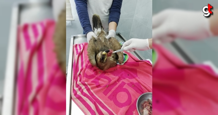 Sinop'ta tedavisi tamamlanan bozkır kartalı doğaya salındı