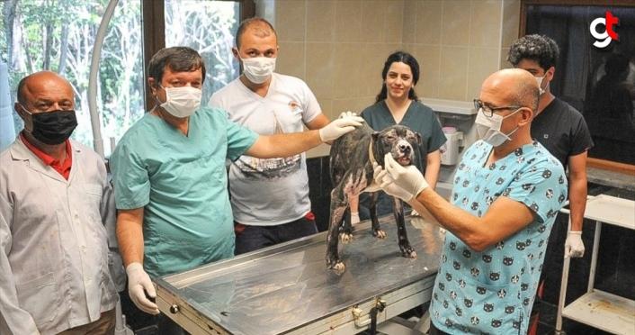 Alevlerin arasından kurtarılan pitbull cinsi köpek tedavi ediliyor