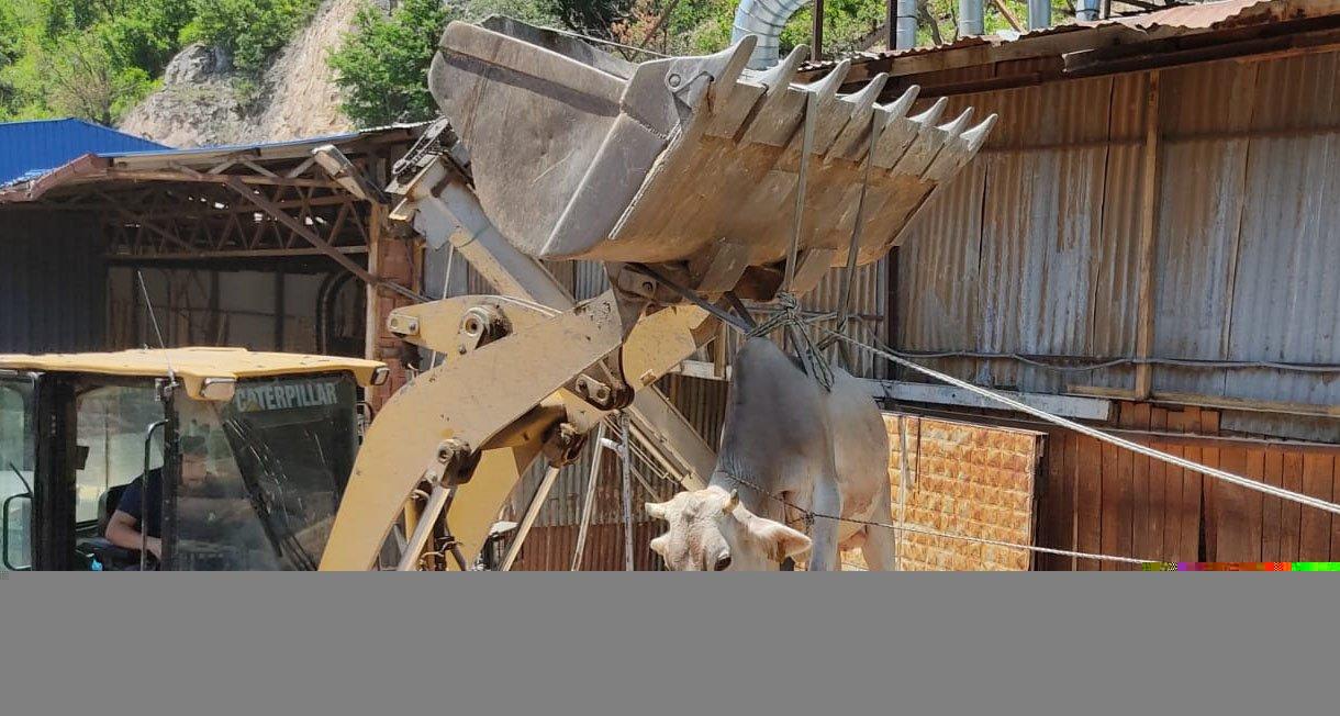 Artvin'de uçuruma düşen ineği itfaiye ekipleri kurtardı