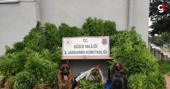 Düzce'de bahçesinde Hint keneviri yetiştiren şüpheli gözaltına alındı