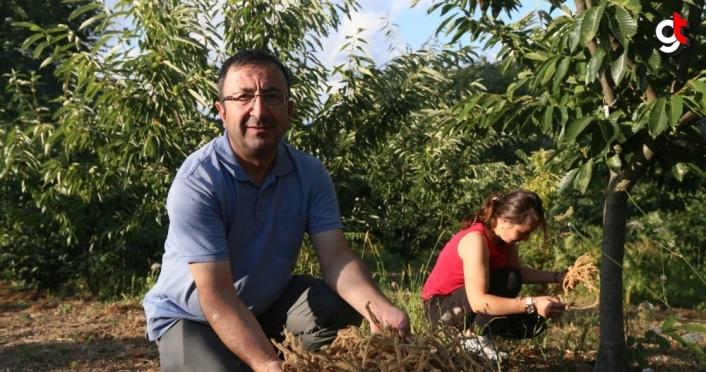 Karadeniz Bölgesi'ndeki kestane ağaçlarının çiçekleri çay olacak