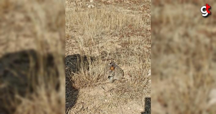 Trabzon'da bitkin halde bulunan yakalı toy kuşu bakımının ardından doğaya salındı