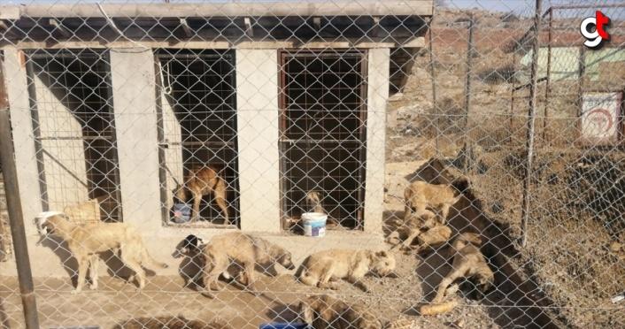 Tokat'ta arazide baygın halde bulunan 29 köpek koruma altına alındı