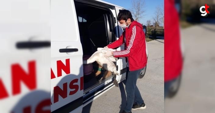 Samsun'da göç yorgunu kuğu tedaviye alındı