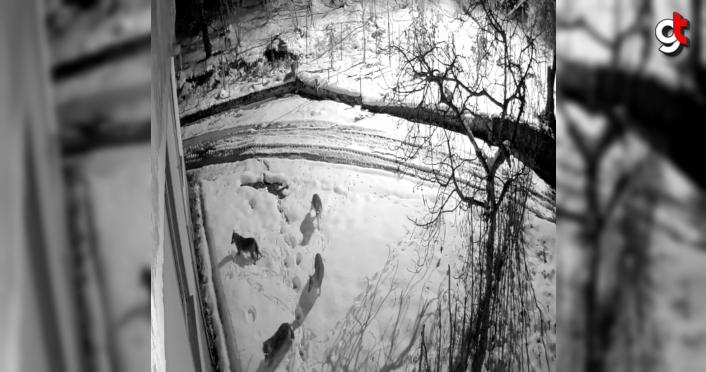 Giresun'da kar yağışı nedeniyle aç kalan kurtlar mahalleye indi