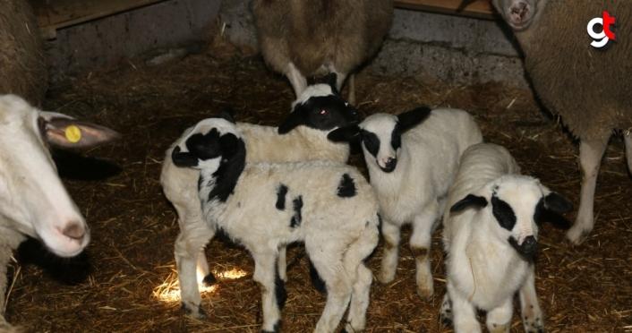 Mudurnu'da ikiz ve üçüz doğuran koyunlar sahibini sevindirdi