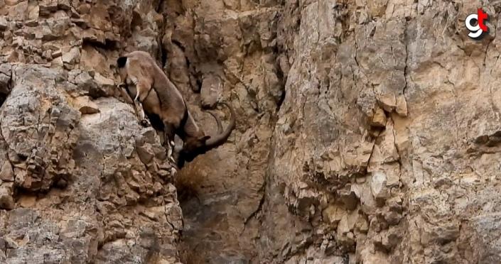 Gümüşhane'de yaban keçilerinin tırmanma hünerleri kameraya yansıdı