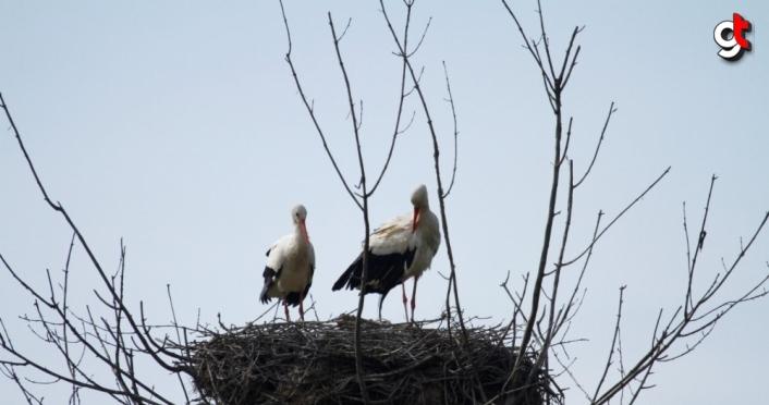 Leylekler Kızılırmak Deltası Kuş Cenneti'ndeki yuvalarına döndü