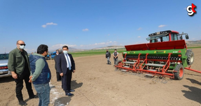 Amasya'da yerli kenevir tohumu