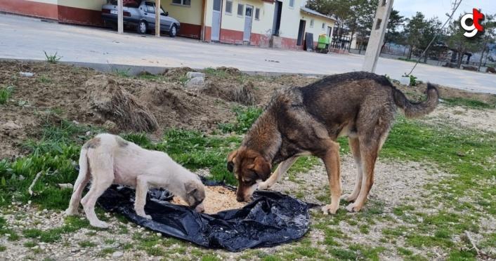 Kastamonu'da HAYTAP gönüllüleri, kısıtlamada yiyecek bulmakta zorlanan sokak hayvanlarını unutmadı