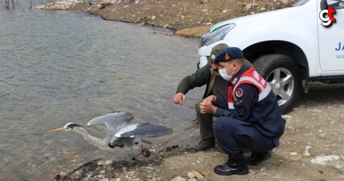Kastamonu'da tedavisi tamamlanan gri balıkçıl ve kerkenez doğaya salındı
