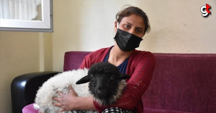 Trabzon'da kuzusu hastalanan vatandaş veteriner bulamayınca hastaneye gitti