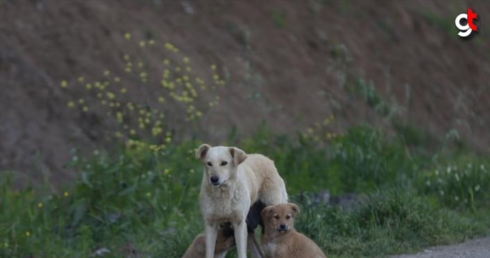 Anne köpek aracın çarpması sonucu telef olan yavrusunun başından ayrılmadı