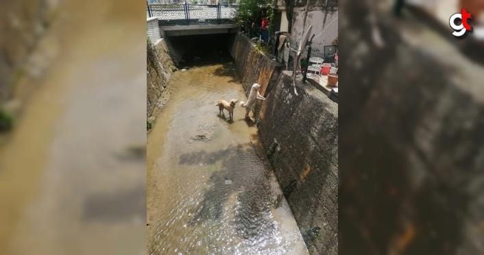 Bolu'da dereye düşen köpekler kurtarıldı