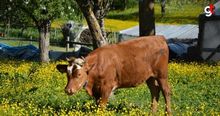 İnebolu'da tarlalarla açan sarı çiçekler görsel şölen oluşturdu