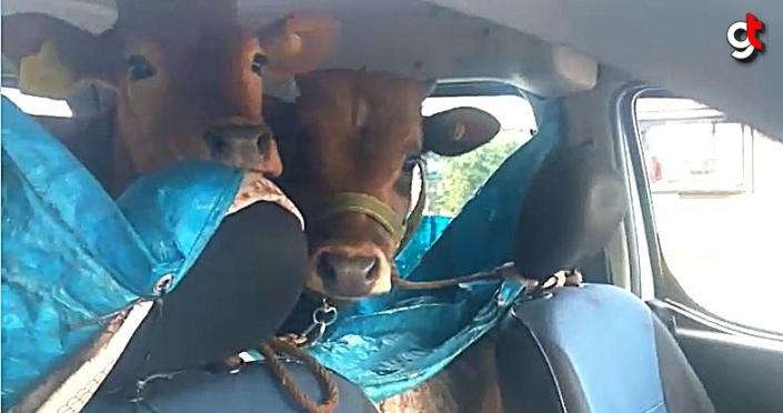 Rizeli vatandaş iki danayı otomobilinin arka koltuğunda yaylaya çıkardı
