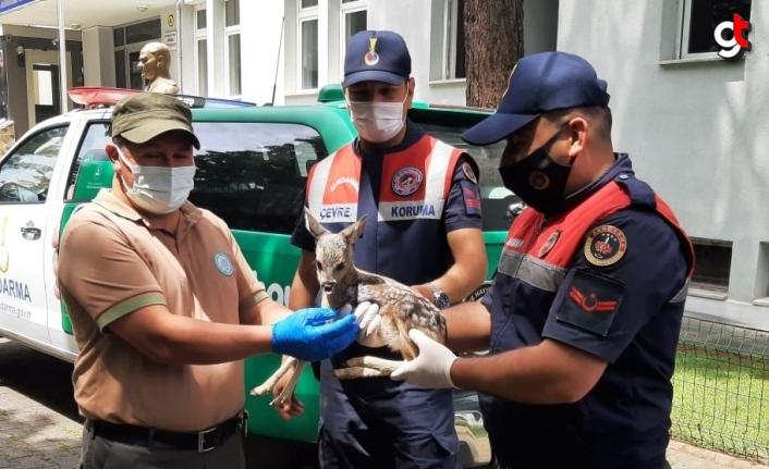 Samsun'da yol kenarında bulunan karaca yavrusu koruma altına alındı