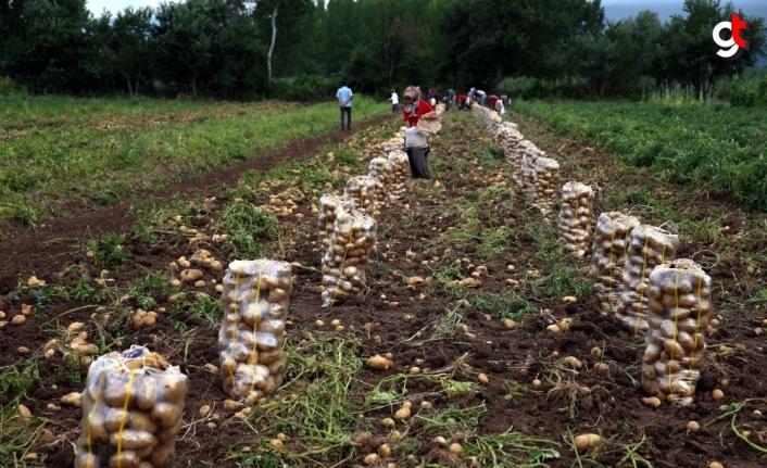 Niksar patatesinde rekolte ve fiyat üreticiyi sevindirdi