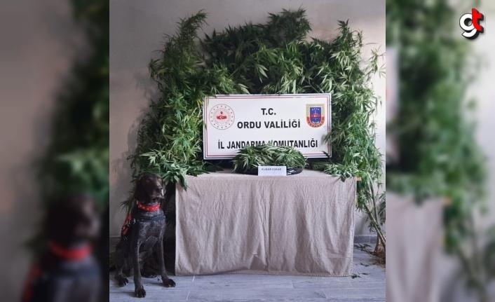 Ordu'da uyuşturucu operasyonunda 3 şüpheli gözaltına alındı