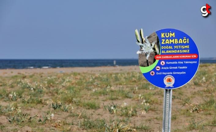 Samsun sahillerinde kum zambaklarına tabelalı koruma