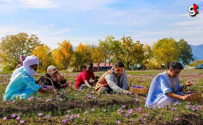 Karabük Üniversitesindeki yabancı öğrenciler safran hasadına katıldı