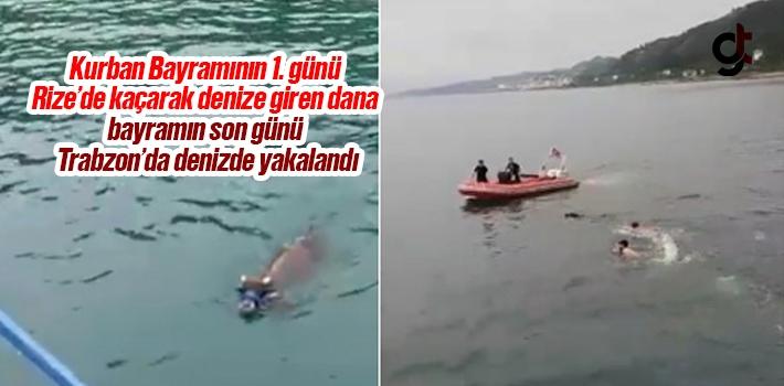 Kurban Bayramının 1. günü Rize'de kaçarak denize giren dana bayramın son günü Trabzon'un Sürmene ilçesinde yakalandı