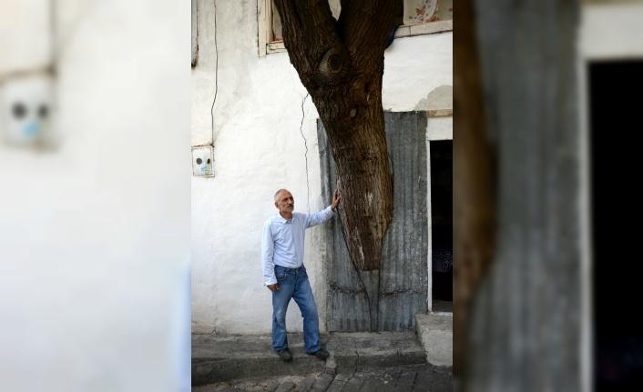 Gövdesi evinin içinde kalan baba hatırası ağaca...