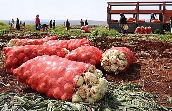 Kuru Soğan Hasadı Başladı, Fiyatlar Düşecek