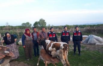 Samsun'da büyükbaş hayvan hırsızlığı iddiası