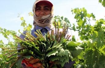 Yaprağı meyvesinden 10 kat pahalı