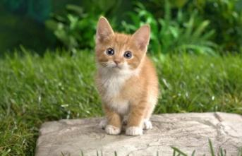 Kedilerin yaşı nasıl belli olur?