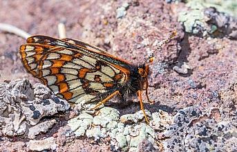 '12 bin yaşındaki' kelebek Ağrı Dağı'nda yeniden...
