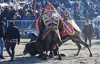 Muğla'daki deve güreşi festivaline yoğun ilgi