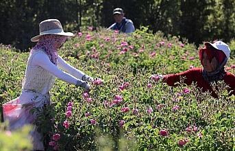 'Güller diyarında' hasatta Kovid-19 sessizliği