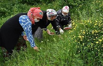 Kilosu 150 liradan satılan dağ çileği kadınlara ekonomik kazanç oldu