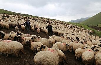 85 yaşındaki Süleyman dedenin bitmeyen çobanlık...