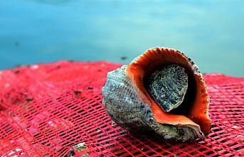 Akçakoca'dan Uzak Doğu'ya deniz salyangozu ihracatı
