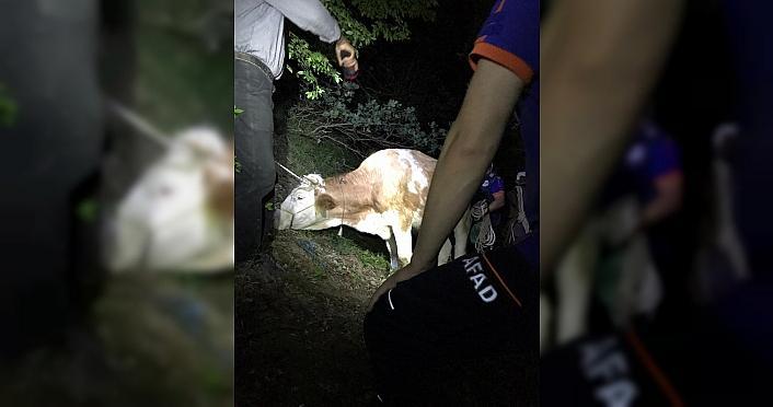 Amasya'da uçurumdan düşen inek kurtarıldı