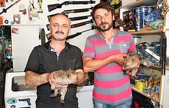 Amasya'da yol kenarında bulunan iki kurt yavrusu...