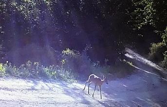 Bolu'da bir karaca fotokapan tarafından görüntülendi