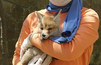 Giresun'da doğada bulunan tilki yavrusu koruma altına alındı