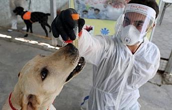 İran'da köpekler Kovid-19'u teşhis etmek için...
